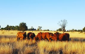 2017 Droughtmaster National Sale Draw   Yaralla Droughtmasters