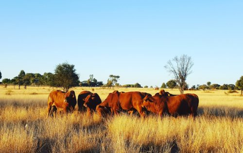 2017 Droughtmaster National Sale Draw | Yaralla Droughtmasters