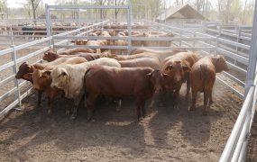 MSA Heifers | Yaralla Droughtmasters
