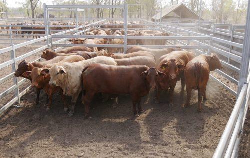 MSA Heifers   Yaralla Droughtmasters
