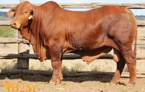 Huntly Title | Yaralla Droughtmasters