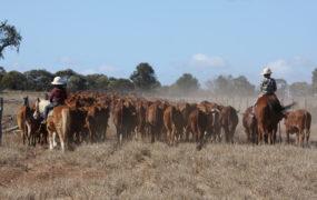 Yaralla Droughtmasters | Yaralla Droughtmasters