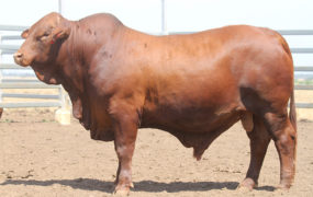 New sire for Yaralla Droughtmasters | Yaralla Droughtmasters