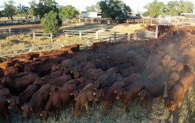 Pearl Creek Weaner Heifers | Yaralla Droughtmasters