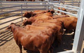 Reserve Champion Male Grain/Lot Fed Pen – Beef Australia 2018   Yaralla Droughtmasters