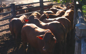 Yaralla grainfeds at Beef 2015 av $1700   Yaralla Droughtmasters