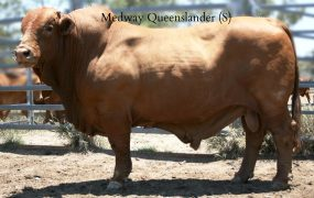 Medway Queenslander | Yaralla Droughtmasters